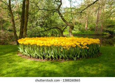 Keukenhof Lisse park with beautiful yellow tulip field
