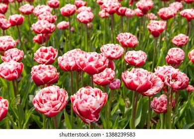 Keukenhof, Lisse. Typical Dutch tulips in field