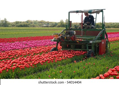 KEUKENHOF, NETHERLANDS - MAY 14: Unknown farmer cuts tulip buds May 14, 2010 near the Keukenhof village, Netherlands. Procedure is repeated each spring as part of the growing tulips seeds.