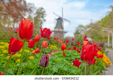 Keukenhof, The Netherlands - May, 2018: Blooming colorful tulips flowerbed in public flower garden Keukenhof with windmill. Popular tourist site. Lisse, Holland, Netherlands
