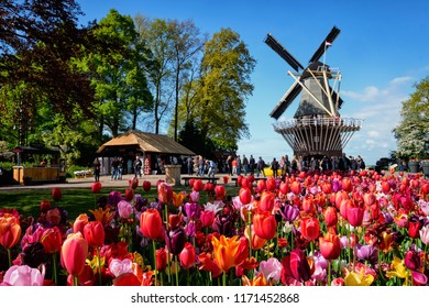 KEUKENHOF, NETHERLANDS - MAY 9, 2017: Blooming pink tulips flowerbed in Keukenhof garden, aka the Garden of Europe, one of the world largest flower gardens & windmill & tourists. Lisse, Netherlands