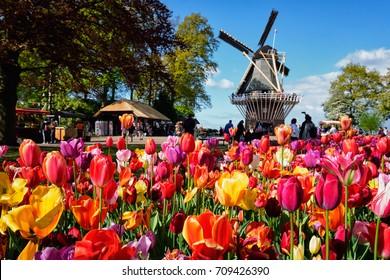 KEUKENHOF, NETHERLANDS - MAY 9, 2017: Blooming pink tulips flowerbed in Keukenhof garden, aka the Garden of Europe, one of the world largest flower gardens & windmill & tourists. Lisse, Netherlands