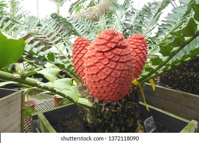 Kew, London / UK - October 27, 2013: The spetacular red cones of the threatened cycad Encephalartos ferox from South Africa, growing at Kew Gardens