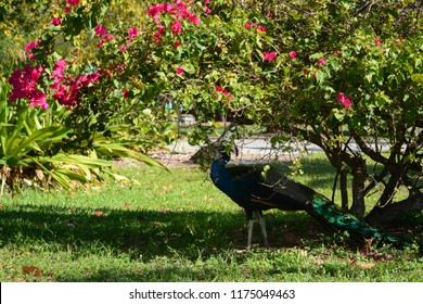 KEY BISCAYNE, FL, USA - APRIL 17, 2018: Beautiful peacock in Crandon park located in Key Biscayne near Miami