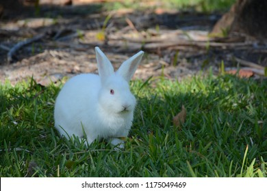 KEY BISCAYNE, FL, USA - APRIL 17, 2018: Whild white rabbit walking on the grass in Crandon park located in Key Biscayne near Miami