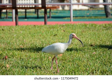 KEY BISCAYNE, FL, USA - APRIL 17, 2018: Beautiful White ibis walking in Crandon park located in Key Biscayne near Miami
