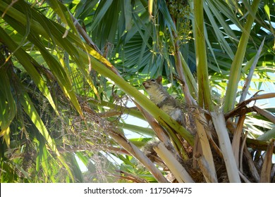 KEY BISCAYNE, FL, USA - APRIL 17, 2018: Squirrel sits on the palm in Crandon park which is located in Key Biscayne near Miami