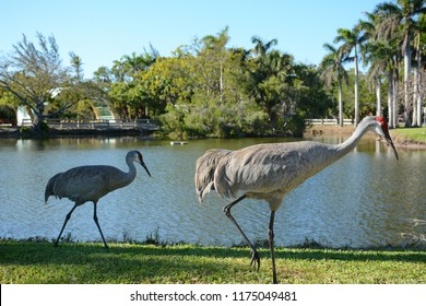 KEY BISCAYNE, FL, USA - APRIL 17, 2018: Two sandhill cranes walking in Crandon park which is located in Key Biscayne near Miami