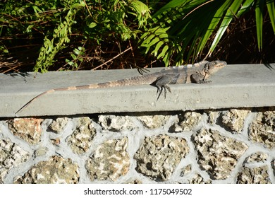 KEY BISCAYNE, FL, USA - APRIL 17, 2018: Iguana sitting in Crandon park which is located in Key Biscayne near Miami