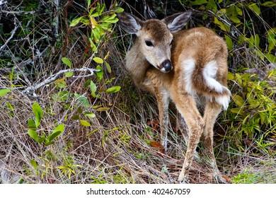 key deer florida