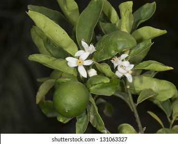 Key Lime (Citrus aurantiifolia) used for caipirinha, a brazilian drink