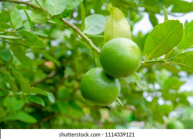 Key lime or Mexican lime on tree,one of main ingredient of thai food