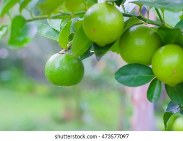 Key lime or Mexican lime on tree,one of main ingredient thai food