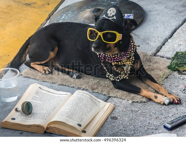 Key West, Florida - October 6, 2016: A cute dog with a pirate hat, yellow sunglasses and a Mardi Gras bead necklace reads a book on the sidewalk of the famous Duval Street in Key West, Florida.