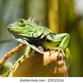 Key West Green Iguana (invasive species in Florida).  Scientific name is Iguana Iguana
