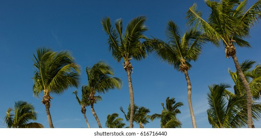 Key West Palm Trees