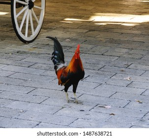 Key West Rooster on Sidewalk