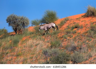 Kgalagadi landscape. Large antelope with spectacular horns, Gemsbok, Oryx gazella, descends from the red dune to the valley against blue sky. Wildlife photography, Kalahari desert, South Africa.