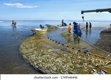 Khabarovsk region, Russia - May 24, 2020: Fishermen brigade pulling a net with the fresh catch of the pacific herring ( Clupea pallasii ). Sea of Okhotsk. Khabarovsk region, far East, Russia.