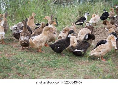 Khaki Campbell Ducks in a Domestic Duck Farm at Minjur, Tamil Nadu in India