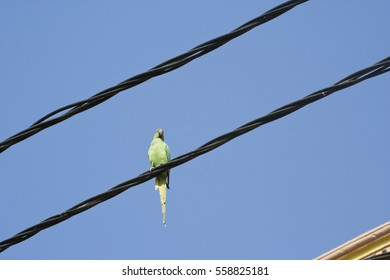 KHAMBHAT, GUJARAT / INDIA - JANUARY 11, 2017 : A PARROT IS SIITING ON AN ELECTRIC WIRE IN THE CITY OF KHAMBHAT IN INDIA.