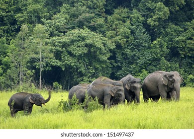 Khao Yai National Park, Thailand elephant eat a lot of deals together in the rainy season.
