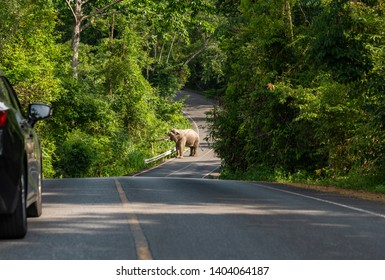 Khao Yai, Thailand - May 21, 2019 : Wild elephant on public road in Khao Yai National Park as car stops to make way. Khao Yai National Park is a Unesco heritage site and Thailands first national park