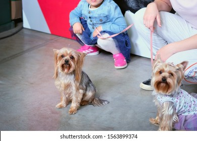 KHARKIV, UKRAINE OCTOBER 20, 2019: Dog Show place for photo. Two small shaggy dogs on leashes close-up. A woman and a girl are holding on the leash of their favorite Yorkshire Terrier dogs.