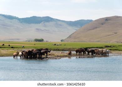 KHARKORIN, MONGOLIA - Jun 29 2017: Horses on Orkhon Valley in Kharkhorin (Karakorum), Mongolia. It is part of the Orkhon Valley Cultural Landscape World Heritage Site.