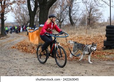 Kharkov, UKRAINE - November 15, 2014: Natalia Sinopalnikova during one dog Bikejoring Women's 3100 m at Sled dogs dry land race Autumn Cup - 2014