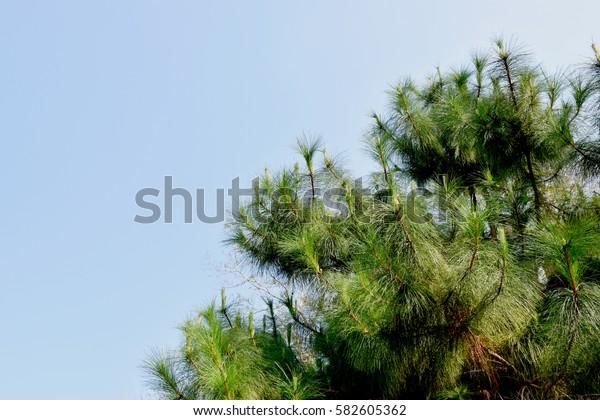 Khasiya pine on blue sky background