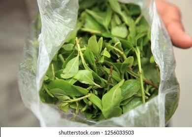 Khat (Catha edulis) chewing petals. A common aphrodisiac in Yemen.