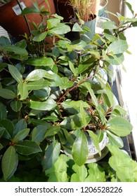 Khat Chewing Leaf