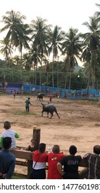 Kho Samui, Thailand - October 11, 2018 Thai man making bets on two male Asian water buffalos who are pitted against one another and are made to fight on Kho Samui.