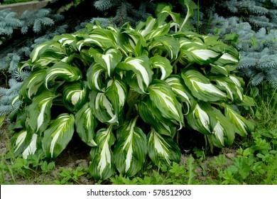 "Khosta (Funkiya) wavy (Hosta undulata (Otto et Dietr. (Bailey)), grade of ""Univittata"""