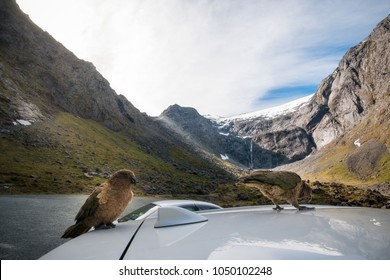 Kia, the inquisitive New Zealand native parrot checking out some cars at Mount Talbot on Milford highway, close to Homer Tunnel in Fiordland National Park, New Zealand, South Island.