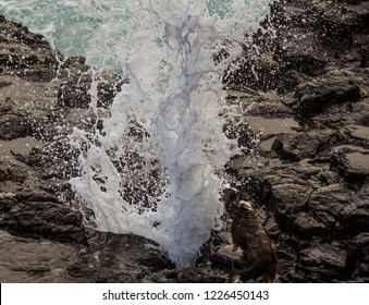 Kiama blowhole versus puppy part 2. As the hole explodes with foamy sea water, the excited dog barks and bites at it