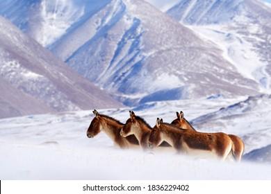Kiang, Equus kiang, largest of the wild asses, winter mountain codition, Tso-Kar lake, Ladakh, India. Kiang from Tibetan Plateau, in the snow. Wild asses heard, Tibet. Wildlife  nature.