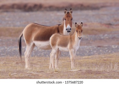 Kiang or Wild Ass (Equus kiang) mare and foal on the Tibetan Plateau, Qinghai Province, China