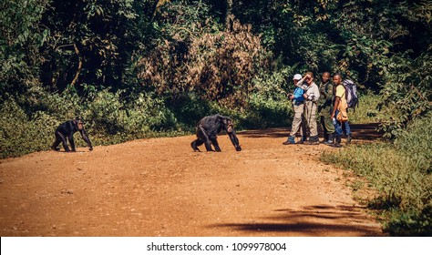 Kibale National Park, Uganda - September 14, 2015. Shows that ecotourism has habituated the park's wild chimpanzees to humans, as two chimps cross a dirt road, unafraid of tourists and park staff.