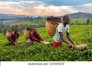 KIBALE, UGANDA - JULY 12, 2019: Local men pick tea leaves in Kibale, Uganda