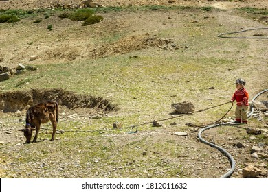 Kibber, Himachal Pradesh, India - May 2012: A young Indian boy holding a rope tied to a calf grazing on the grass of a green meadow in a Himalayan village.