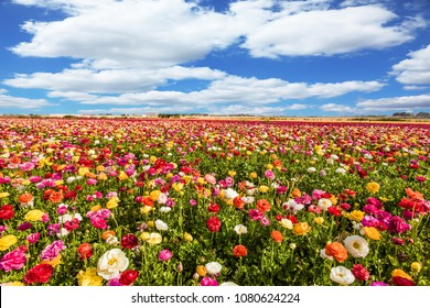 Kibbutz fields of flowering garden buttercups /ranunculus/. Spring flowering. Cumulus clouds fly over the fields. Concept of ecological and rural tourism