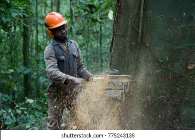 KIBRI, CAMEROON - 08 JULY 2012: A lumberjack is cutting down a 200 years old tree in the jungle. Cameroon, Africa.