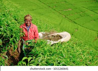 Kibuye/Rwanda - 08/26/2016: African woman worker collecting tea in plantation in Rwanda, Africa