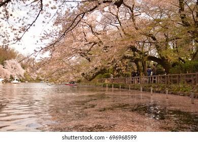 Kichijoji, Japan April 2017 - People rowing boats at Inokashira Park in Kichijoji during cherry blossom season