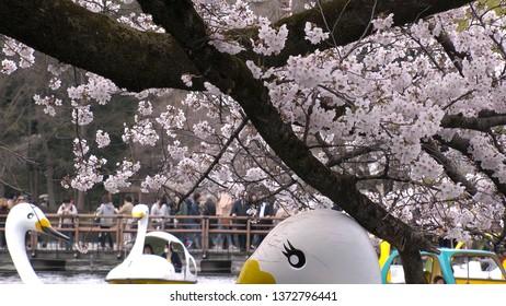 KICHIJOJI,  TOKYO,  JAPAN - CIRCA APRIL 2019 : CHERRY BLOSSOMS in INOKASHIRA PARK at spring season.