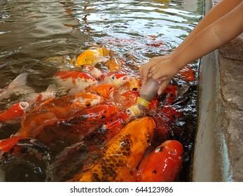 Kid feed food for fish in aqarium
