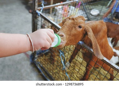 Kid feeding, close up child hand with milk bottle feeding to little goat in night festival fair, high angle view
