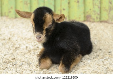 kid goat black and brown in the farm